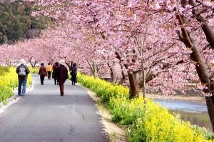 南伊豆温泉街桜並木